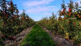 Długa nawa między rzędami jabłonie jabłczany sad, rolniczy przedsięwzięcie, wybór jabłka Na małych drzewach, a zdjęcie wideo