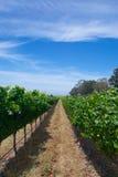 Długa nawa winogrona obrazy stock
