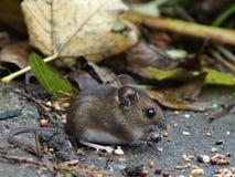 Długa Ogoniasta Śródpolna mysz (Drewniana mysz) Obraz Royalty Free