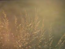 Długa trawa i racy od światła słonecznego Zdjęcie Royalty Free