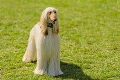 Długa z włosami charcica w parku obraz stock