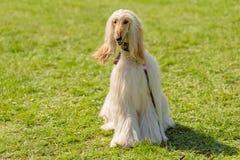 Długa z włosami charcica w parku fotografia royalty free