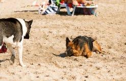 Długa z włosami niemiecka baca bawić się na plaży Fotografia Royalty Free