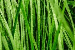 Długa zielona trawa zakrywająca z deszczem zdjęcie stock