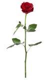 długi czerwieni róży trzon Obrazy Stock