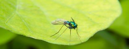 Długi Iść na piechotę chromu błękit, zieleń i Pomarańczowa komarnica, Obrazy Royalty Free