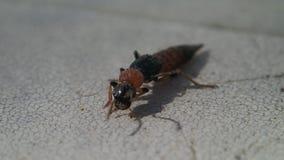 Długi insekt czyści swój anteny zbiory wideo