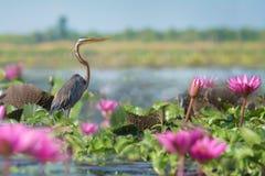 Długi necked ptak czaije się dla zdobycza zdjęcia royalty free