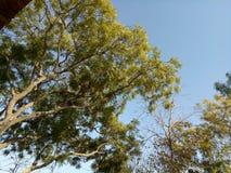 Długi neem drzewo w India zdjęcie royalty free