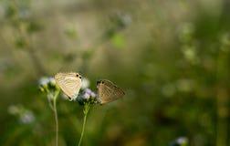Długi ogoniasty błękitny motyl na Ageratum conyzoides zdjęcie stock