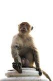 Długi ogoniasty makaka męski obsiadanie na ścianie odizolowywającej Zdjęcia Royalty Free