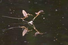 Długi Ogoniasty Mayfly na wody powierzchni obraz royalty free