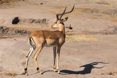 Długi portret męski impala zdjęcia royalty free