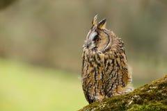 Długi Słyszący sowy Asio otus UK fotografia royalty free