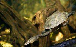Długi szyja żółw Zdjęcia Royalty Free