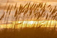 Długi trawy dorośnięcie w Plażowych piasek diunach przy zmierzchem lub wschodem słońca Zdjęcie Stock