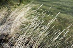 Długi złoty delikatny traw rosnąć dziki i opierać naturalnie Zdjęcie Royalty Free