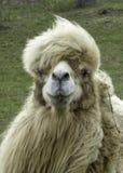 Długi z włosami wielbłąd Zdjęcia Stock