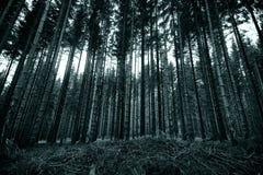 Długie sosny w lesie czarny i biały zdjęcie stock
