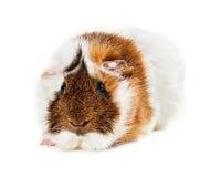 Długie włosy królik doświadczalny patrzeje naprzód Fotografia Royalty Free