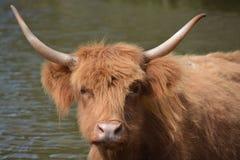 Długie włosy krowa Zdjęcia Royalty Free