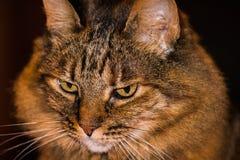 Długie włosy szary tabby kot patrzeje w dół Obrazy Royalty Free