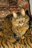 Długie włosy szary tabby kota przyglądający up spokój bardzo Fotografia Royalty Free