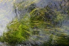 Długie zielone algi pod wodnym tłem fotografia stock