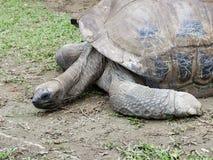 Długiej szyi gigantyczny czarny tortoise próbuje podnosić jego kierowniczego od ziemi obraz stock