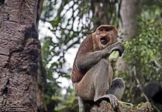 Długonosa małpa lub kahau Nasalis larvatus, Zakłócający wyłącznie na wyspie Borneo obraz stock