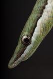 długonosy wąż Zdjęcia Royalty Free