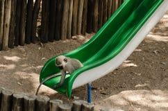 Długoogonkowa małpa sprawdza out Ślizgową deskę Obrazy Royalty Free