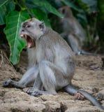 Długoogonkowa makak małpa pokazuje jego zęby w Borneo wyspie, Sabah obraz royalty free