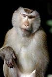 Długoogonkowi makaka łasowania makaka Macaca fascicularis Fotografia Stock
