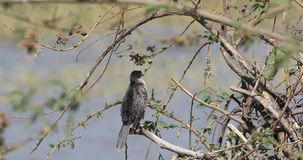 Długoogonkowy kormoran na gałąź zbiory