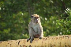 Długoogonkowy makak obrazy royalty free