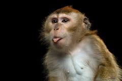 Długoogonkowy makak lub łasowanie makak Fotografia Royalty Free