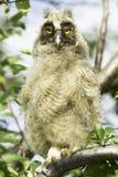 długoucha sowa (Asio otus) Zdjęcie Stock