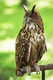 Długouchej sowy obsiadanie na gałąź w parkowym dniu Przyrody scena od natury siedliska Portret dorosły Wielki Rogaty Ow zdjęcia royalty free