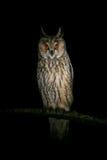Długouchej sowy obsiadanie przy nocą Fotografia Royalty Free