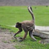 Długowłosa pająk małpa Zdjęcia Royalty Free