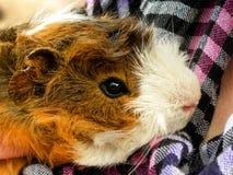 Długowłosy królik doświadczalny Obrazy Stock