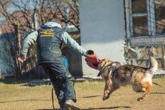 Długowłosy Niemieckiej bacy ataka psi treser w szkoleniu Gome obraz stock