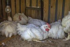 Dźwiganie kurczaki dla mięsa, szybki wzrostowy pojęcie Zdjęcie Royalty Free