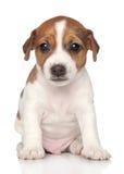 dźwigarki miesiąc jeden szczeniak Russel Obrazy Royalty Free