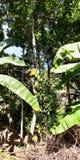 Dźwigarki owoc na drzewach w południowym India fotografia stock