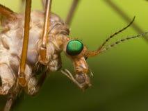 Dźwigowa komarnica z jaskrawym - (komara jastrząb) zieleni oczy zamykają w górę profilu Zdjęcia Stock