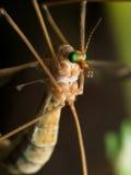 Dźwigowa komarnica z jaskrawym - zieleni oczy (komara jastrząb) Fotografia Royalty Free