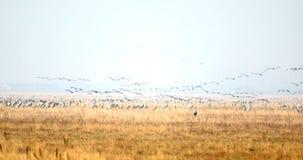 Dźwigowa migracja w Hortobagy, Węgry zbiory wideo