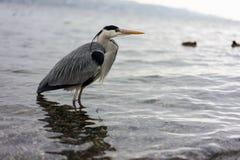 Dźwigowa ptasia pozycja w wodzie, wintertime zdjęcie stock